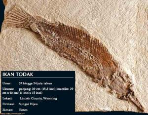 fossil-ikan-todak1